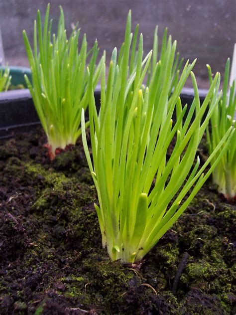 Chive Planters by Chives Grass Plants Free Images At Clker Vector