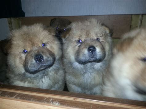 chow puppies for sale 12 week coated chow chow boy for sale gainsborough lincolnshire pets4homes