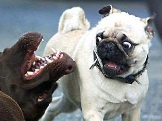 scared pug scared pug wallpapers to your cell phone pug puggy 15486585 zedge