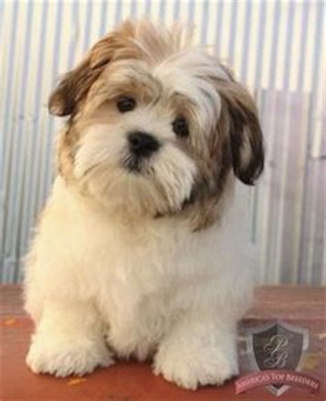 shih tzu corgi pembroke corgi shih tzu mix search dogs like tula