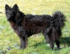 belgian sheepdog as guard dog 11 rare dog breeds the barkpost