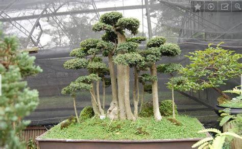 Serut Serut cara menanam bonsai serut bibitbunga