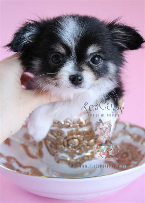 haired chihuahua puppy poodle puppies for sale south florida teacups puppies boutique