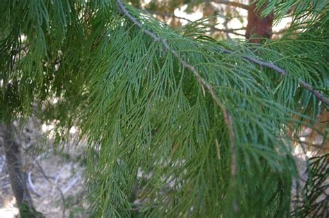 what is the most fragrant fir tree for christmas libocedrus decurrens incense cedar