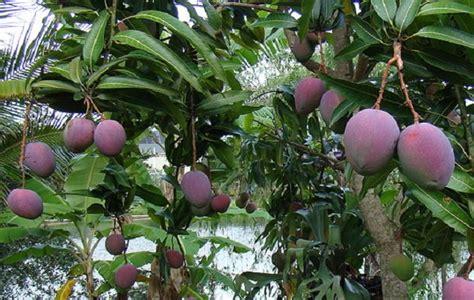 Bibit Mangga Irwin Ungu tahukah kamu khasiat mangga merah irwin yang dari