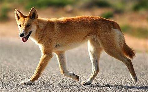 dingo dogs why dingoes are to australia history