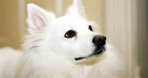 American Eskimo Shedding by 100 American Eskimo Shedding Everything About