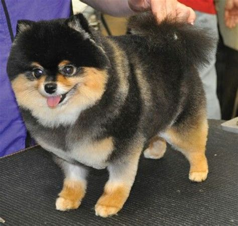 black pomeranian haircuts 17 best ideas about pomeranian haircut on haircuts pomeranian puppy