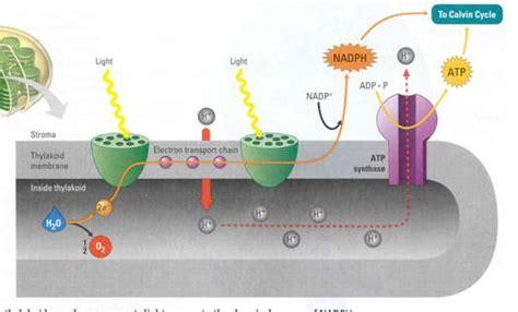 light reaction diagram photosynthesis light reaction