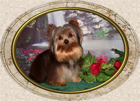 velvet touch yorkies page 2 velvet touch yorkies d o b height weight information