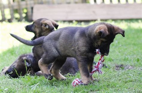 how much is a pitbull puppy worth how much is a purebred german shepherd puppy without papers worth