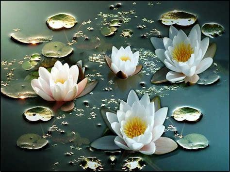 Benih Bunga Teratai jual benih bunga teratai putih yang cantik di lapak clara