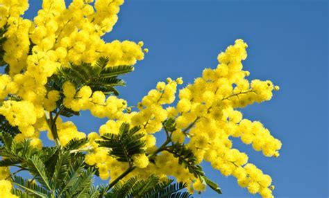 mimosa in vaso coltivare la mimosa in vaso tutti i trucchi e i segreti
