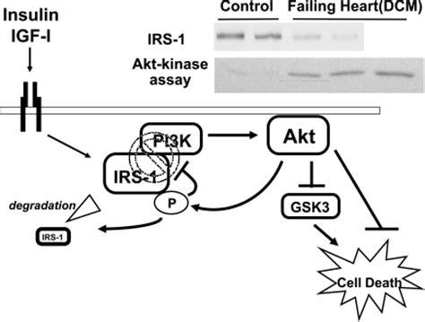 a schematic representation of akt mediated feedback inh