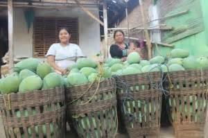 Harga Bibit Mangga Alpukat Pasuruan musim mangga mulai harga masih mahal
