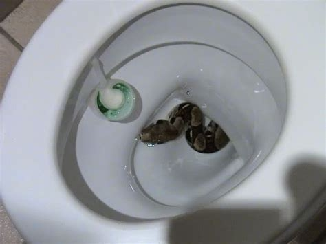 bathroom snake snakes in a toilet 5 animals capable of crawling up your