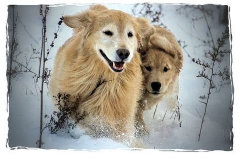 golden retriever breeders pennsylvania golden retriever breeder york pa photo