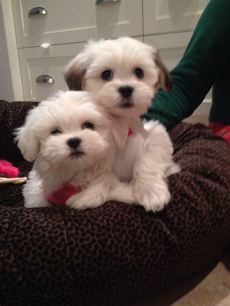 what are teddy puppies teddy josie teddy puppies