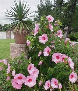 hardy hibiscus shrubs to decorate your garden speaking of tropical houseplants
