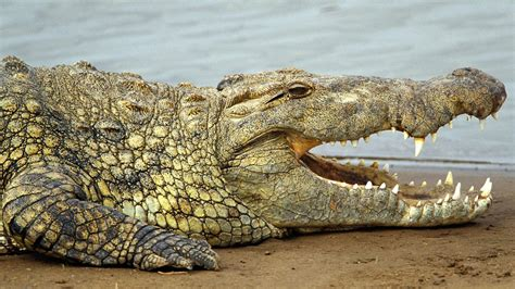 SNAP! Reptile! and Croc! Thousands of Crocodiles ESCAPE ...