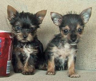 how often do yorkie puppies picture of yorkie chihuahua puppies png
