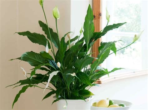 17 best images about low light houseplants on pinterest 17 best images about houseplants on pinterest the plant