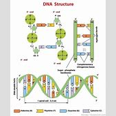 Dna structure diagram 3d infrastructurafo dna structure diagram 3d structure of dn ccuart Image collections
