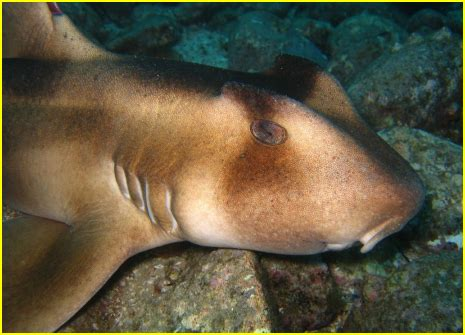 requin dormeur les requins