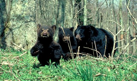 north american bear center why people fear bears list of fatal black bear attacks autos post