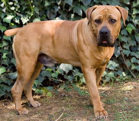 boerboel dogs boerboel breed 187 everything about boerboels