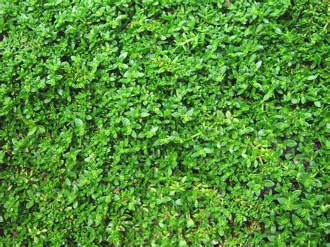 Green Carpet Plant Sprawling And Spilling Plants To Walk On