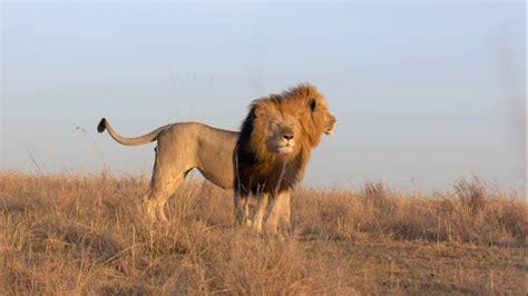 imagenes de animales salvajes de africa animales salvajes tigres leones y mas imagenes africa