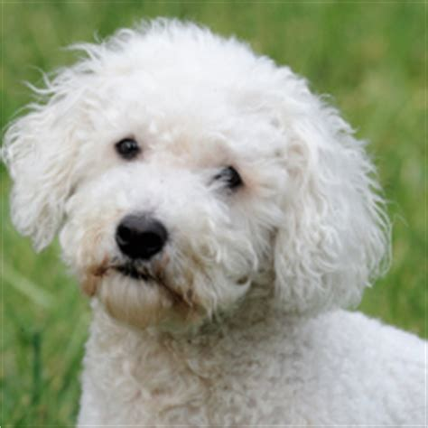 low maintenance small dogs top 10 hypoallergenic breeds for your family breeds picture