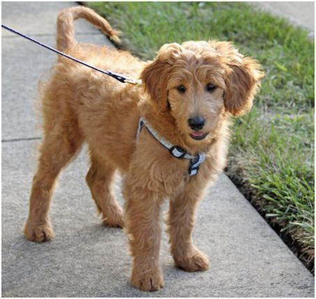 goldendoodle hair goldendoodle