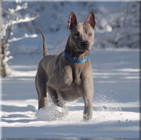 thai ridgeback puppies matt s of blue thai ridgeback dreaming of dogs