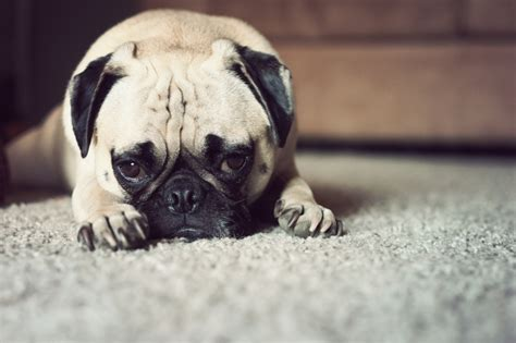 tired pug tired pug by garnettrules21 on deviantart