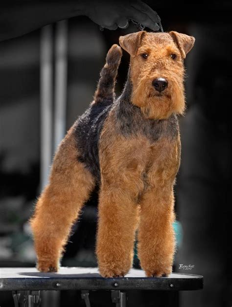 terrier show best 20 terrier ideas on airedale terrier terriers and terrier