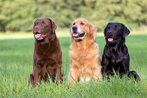 golden retriever and chocolate lab labrador retriever golden retriever sitzend hundefoto hundebild foto bild belcani