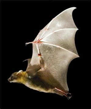 mammifero volante mammiferi volanti