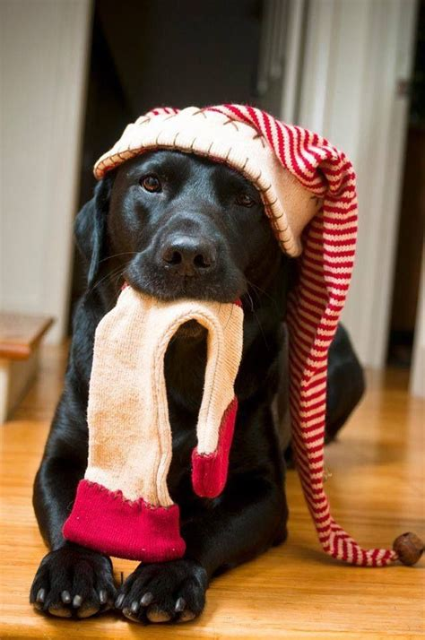 merry xmas  dog cat images  pinterest merry christmas love adorable animals