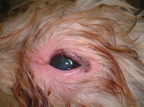 blepharitis in dogs blepharitis