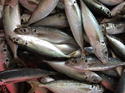 Peluang Usaha Budidaya Ikan Kembung peluang usaha budidaya ikan selayang dan analisa usahanya agrowindo