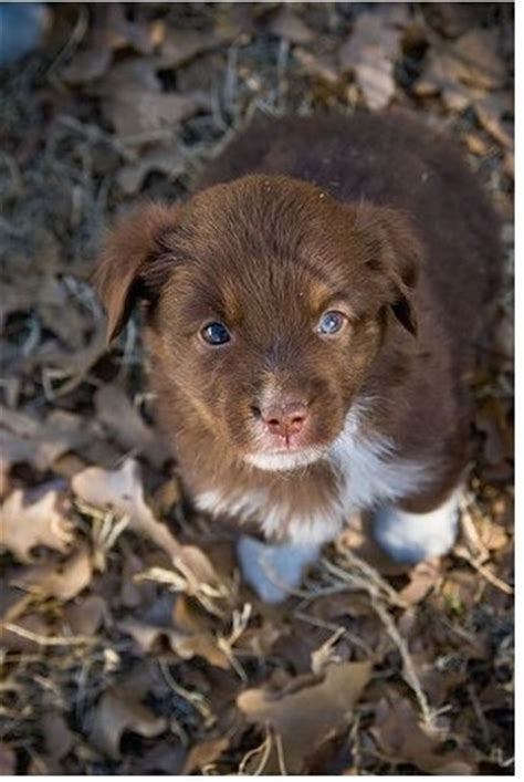 brown australian shepherd puppies picture of brown australian shepherd puppy jpg