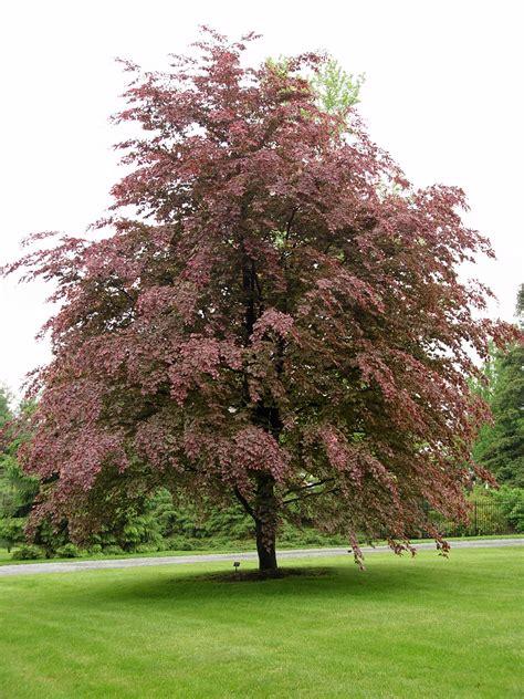 tricolor beech garden housecalls
