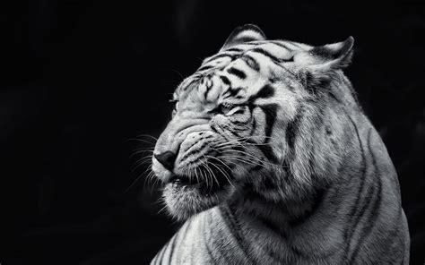 black and white portrait desktop background hd 1920x1200 black lion hd wallpaper 64 images