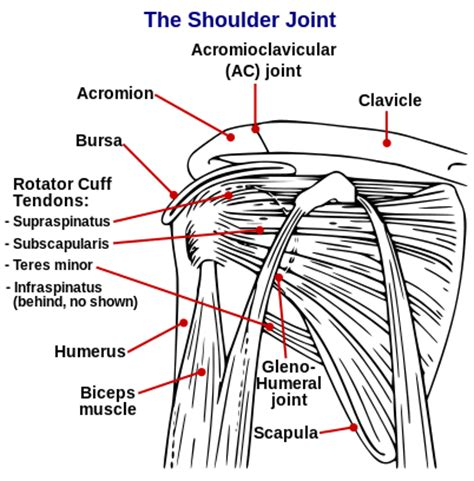 shoulder diagram shoulder and surgery biceps tendon tear at the