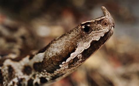 wallpaper horned viper snake serbia montenegro albania
