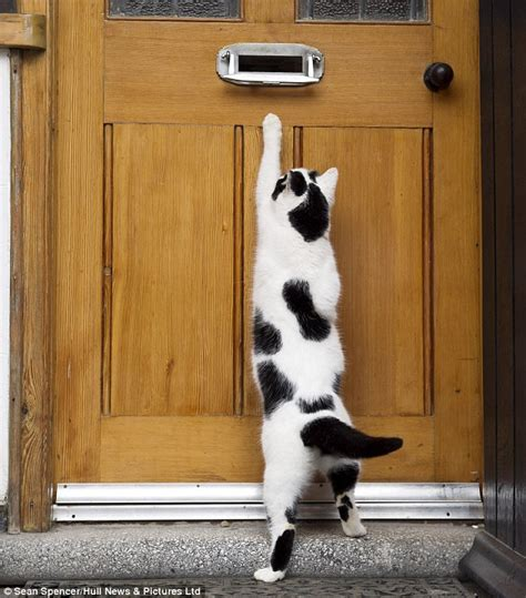 Meaning Of Black Cat At Your Door by Britain S Cleverest Cats Can Open Tins Knock On Doors And Play Hide And Seek Daily Mail