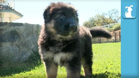 fluffy german shepherd puppy fluffy german shepherd puppies run around like bears puppy