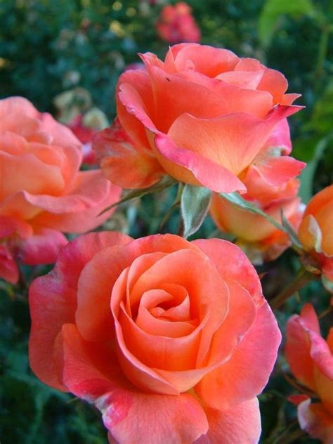 rose can 25 best ideas about roses garden on pinterest growing